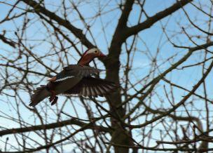 Flying mandarin (L)