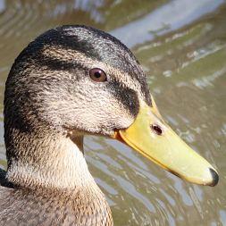 Prety duck