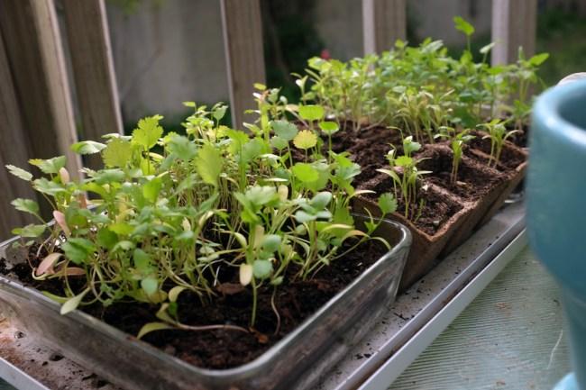 SeedlingsMay25