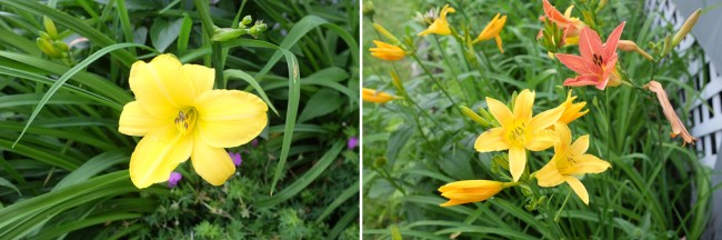 DayLilies_YellowAndRDL