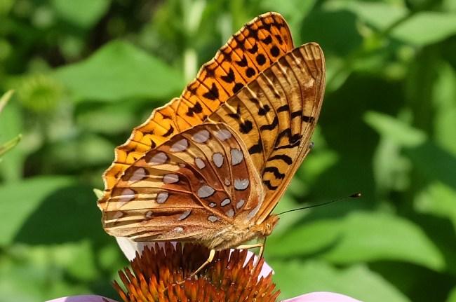 BrownButterfly_Side