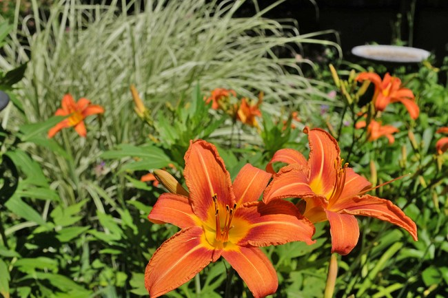 Daylilies_Clusters