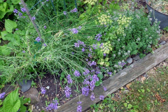 Herb_Lavender