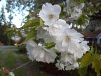 Mt. Fuji Flowering Cherry