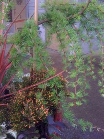 Larch and heather