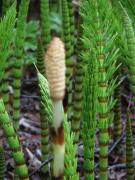 Horsetail, unstoppable