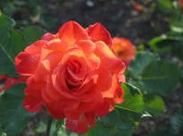 Dynasty Hybrid Tea Rose