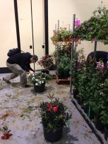 Cleaning plants for the show garden