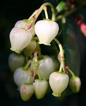 Arbutus unedo Compacta  STRAWBERRY TREE