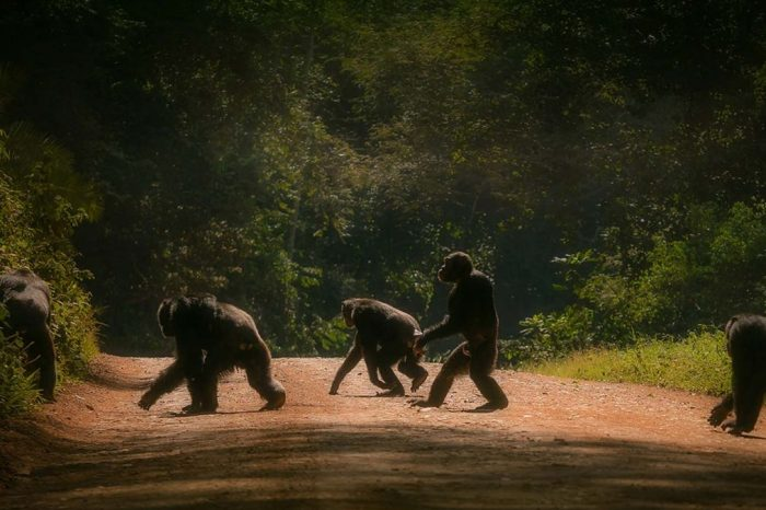 3-Day Chimps Tracking in Kibale Forest National Park