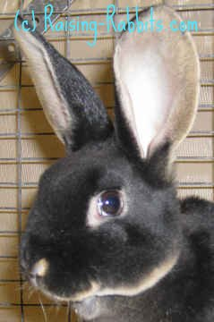 Live Bunnies For Sale Near Me : bunnies, Rabbit, Breeders:, Check, Rabbit-Breeders