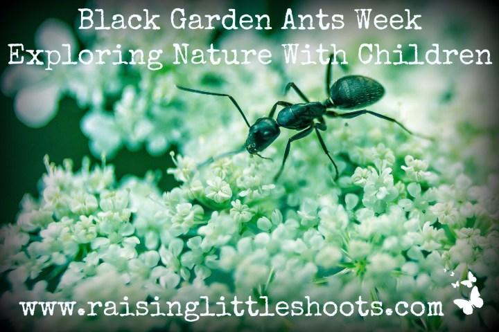 black garden ants week.jpg