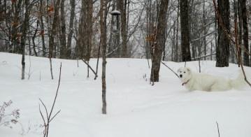 Has anyone seen a big white dog?