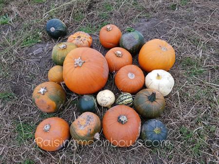 Farmer Copleys Pumpkin Festival - Pumpkin spread