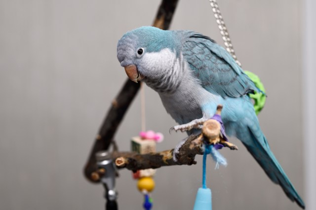 How Do I Know If My Quaker Parrot Is Happy