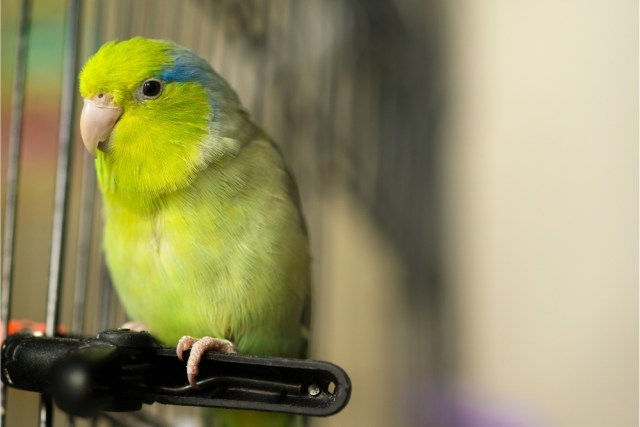 How do I know if my parrotlet is happy?