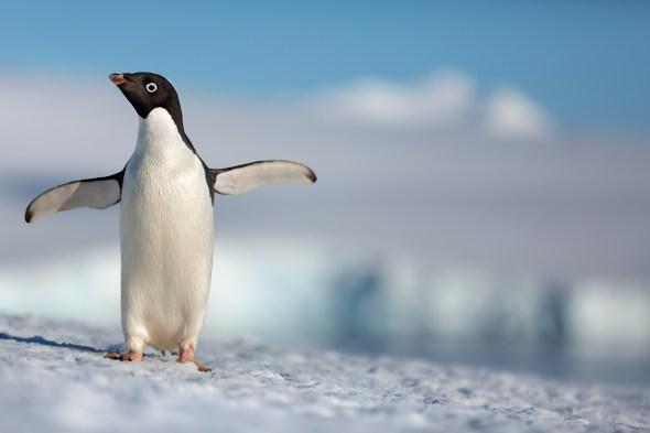 Penguin standing in snow.