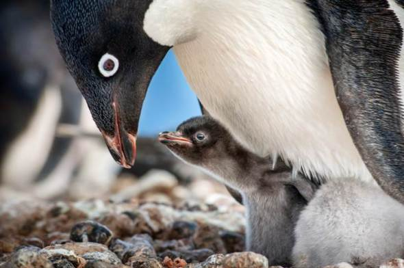 Penguin with chick at its feet.