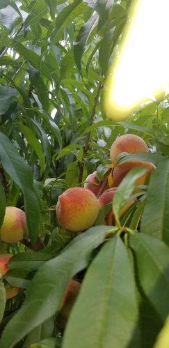Grow Peaches Grow!