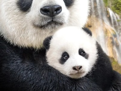 Free Disneynature born in China kids activities