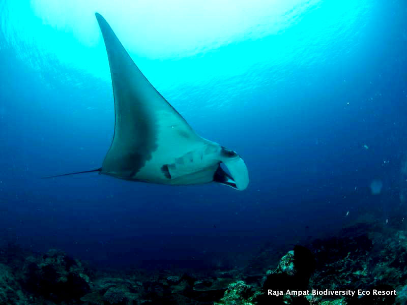 raja ampat diving manta sandy