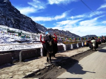 There are loads of yaks ready to give you a harrowing ride through the narrow walkway alongside the frozen tsomgo lake.
