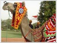 desert Festival Camel