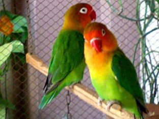 fischer lovebirds rajput birds