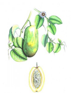 English Botanical Fruits f006