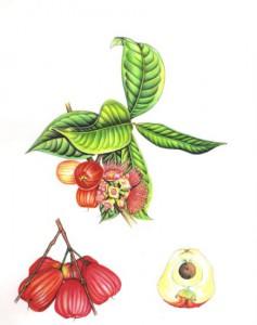 English Botanical Fruits f007