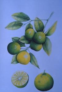 English Botanical Fruits f009