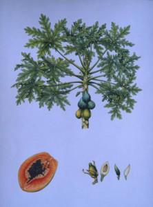 English Botanical Papaya f011