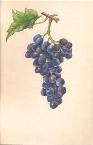 English Botanical Black grapes f014