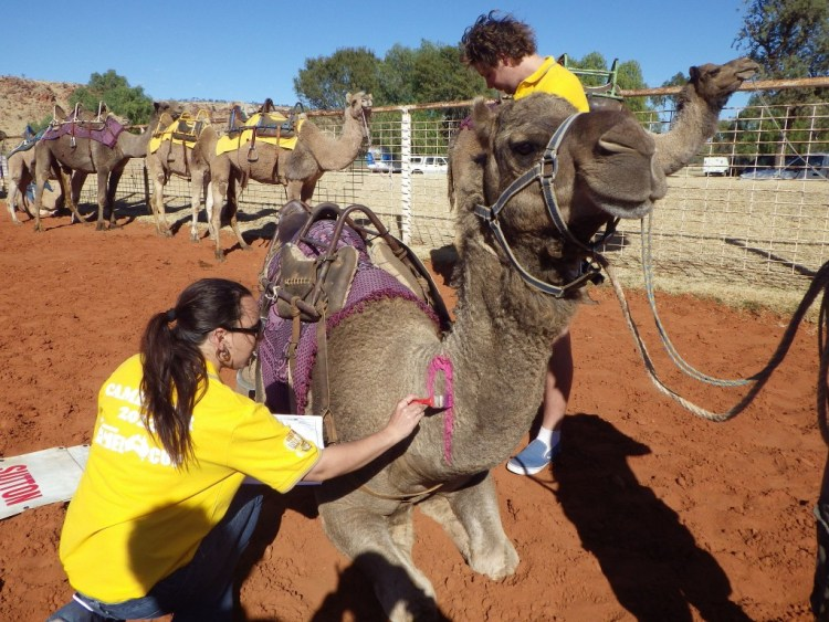 camelrace