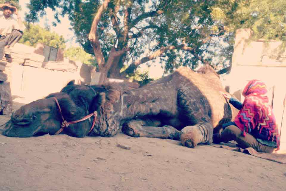camel far cut