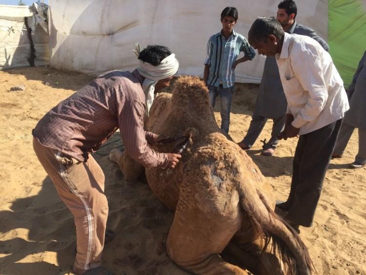camel cut