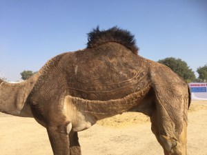 fur cutting camel