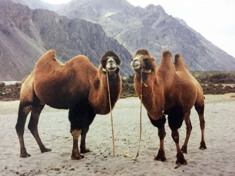 ladakh camel
