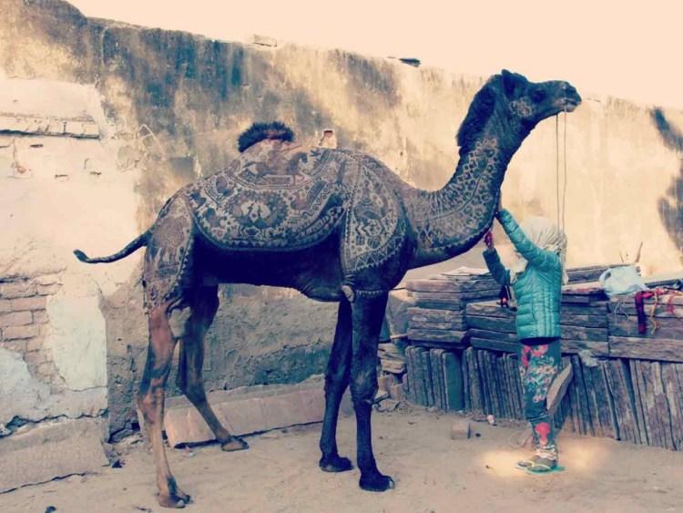 camel fur cutting