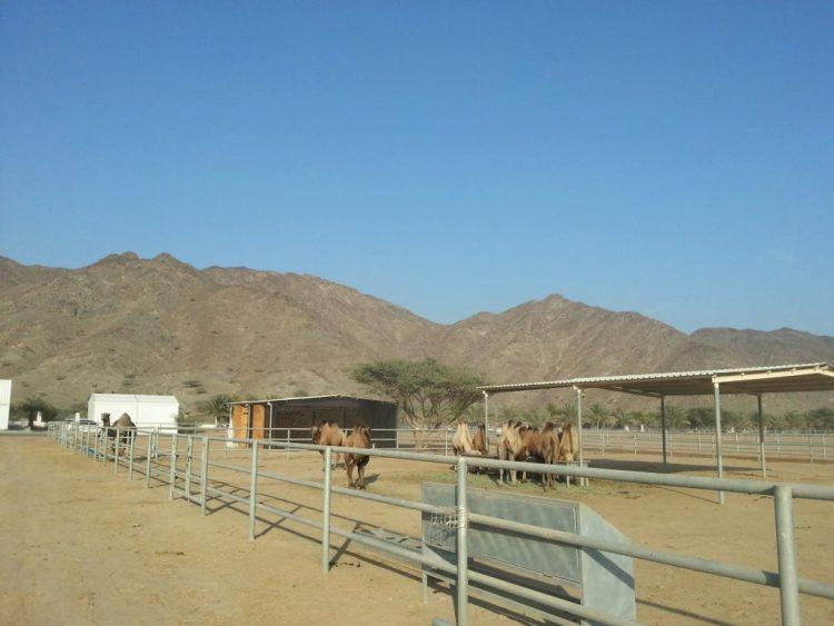 camel yard