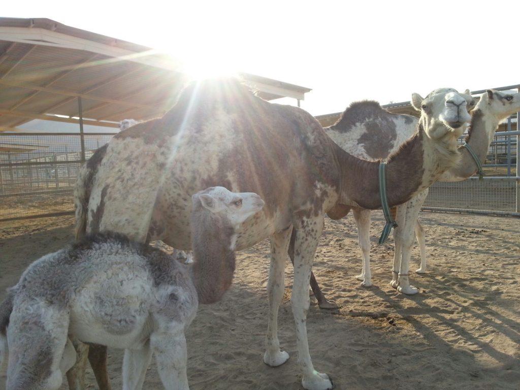 camel uae