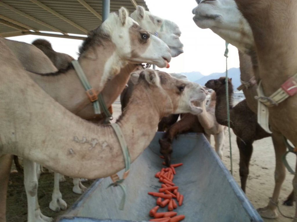 camel carrot