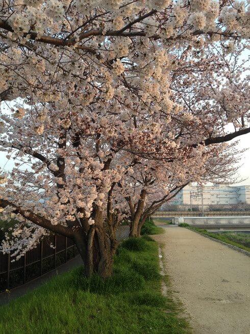 高槻市の芥川沿いの桜が満開です。