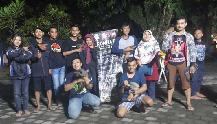 Kombat Pecinta Musang di Bojonegoro, Jawa timur