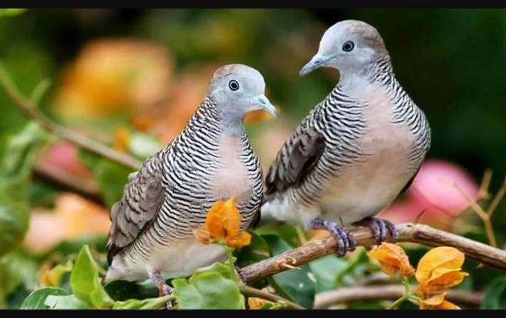 merawat Suara Burung perkutut Bangkok
