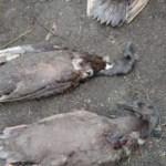 Ternak Bebek milik warga Desa Pargompulan yang darahnya dihisap makhluk misterius. Foto: Tangkapan layar