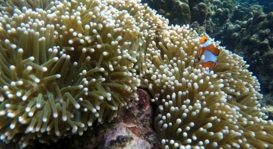 Seekor Ikan Nemo saat bermain di Anemon, di kawasan Terumbu Karang Pantai Badalu, Teluk Tapian Nauli, Kabupaten Tapanuli Tengah, Sumatera Utara, Sabtu (4/7/2020). Di Teluk Tapian Nauli habitat ikan Nemo yang tersohor sejak diangkat dunia perfilm-an Hollywod sebagai tokoh kartun tersebut, dapat ditemui di sejumlah perairan dangkal dimana para wisatawan kerap berkunjung untuk snorkeling. Foto: ZnpTrip