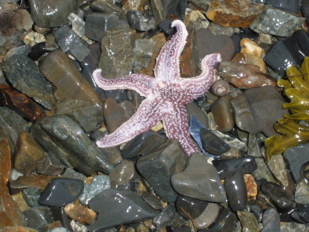 purple starfish by Cara_1_1