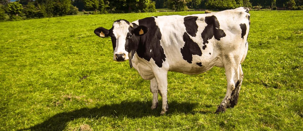 Ralli Ltd: How Dangerous Are Cows on UK Roads? Banner