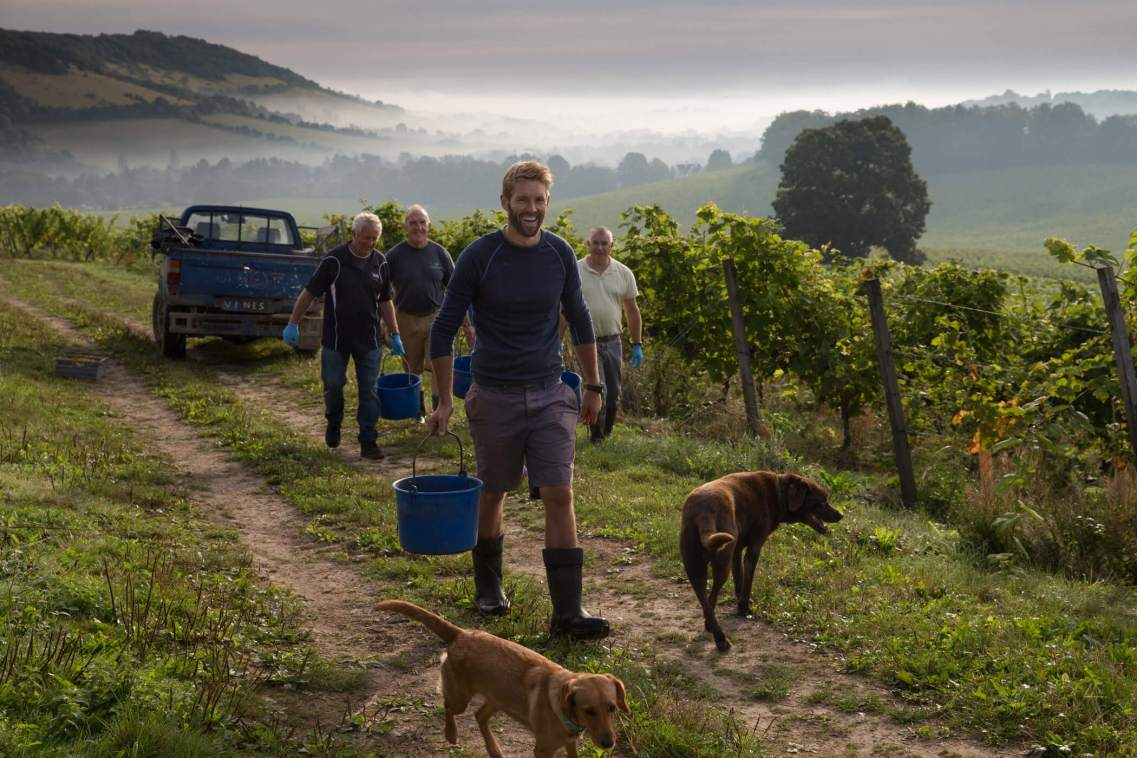 English Wine Harvest, Surrey, UK.
